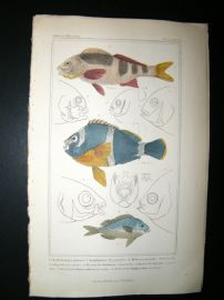 Cuvier C1835 HC Print. Cheilodaetylus, Heliases, Head Of Scolopsides Fish #25